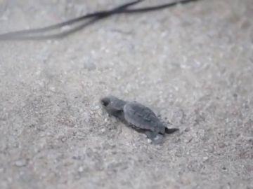 Nace la primera tortuga boba del nido custodiado en Mataró, Barcelona
