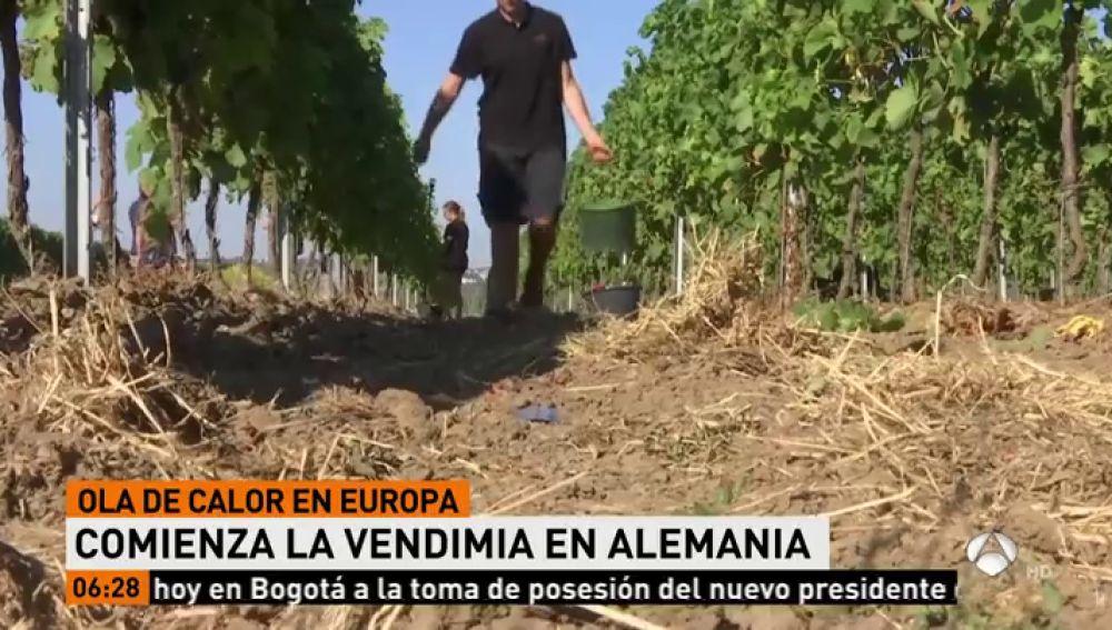 La ola de calor favorece la producción de vino y se espera que la añada sea de alta calidad