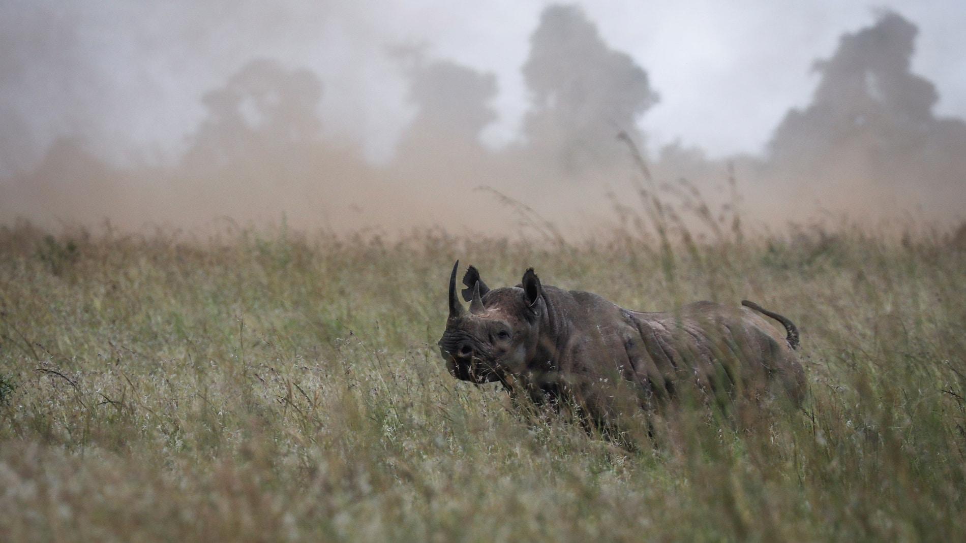 Fallece el último de los once rinocerontes negros trasladados a un parque natural de Kenia