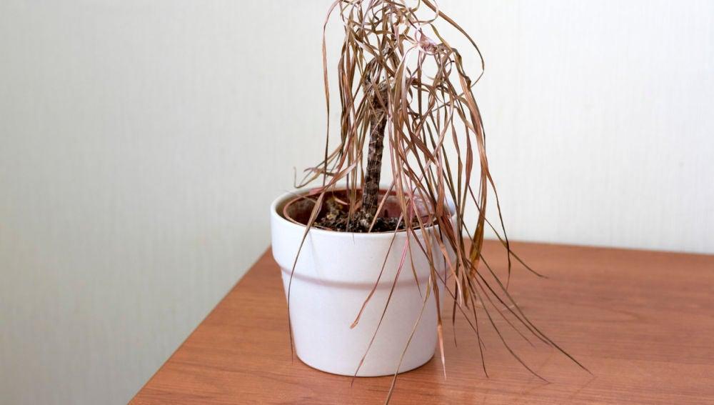 Planta muerta tras las vacaciones