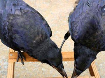 Cuervos en el Puy de Fou