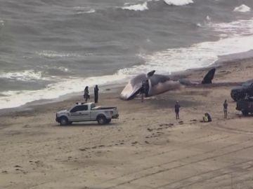 Hallan el cadáver de una ballena en la orilla de una playa de Estados Unidos