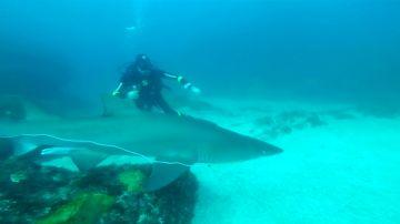 Un instructor de buceo libera a un tiburón de una red que tenía enredada en la boca