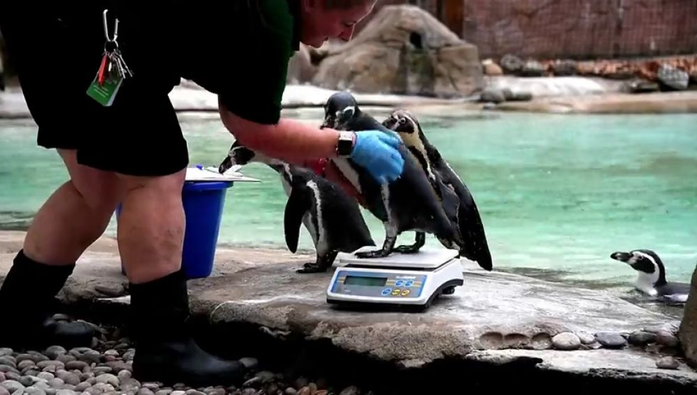 El zoo de Londres hace su pesaje anual a los animales para medir la salud de sus animales