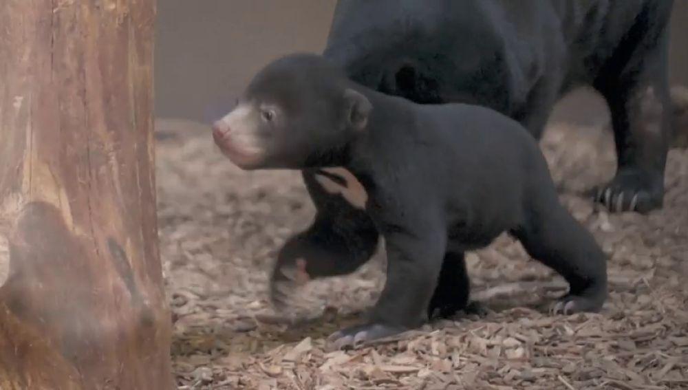 Salen las primeras imágenes de un cachorro oso malayo en un zoo de Inglaterra