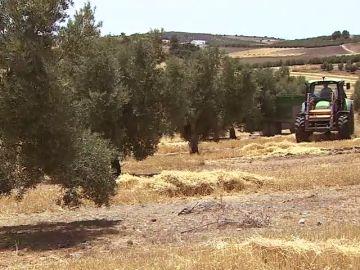 Un proyecto cultiva cebada cervecera entre olivos y ahorra agua