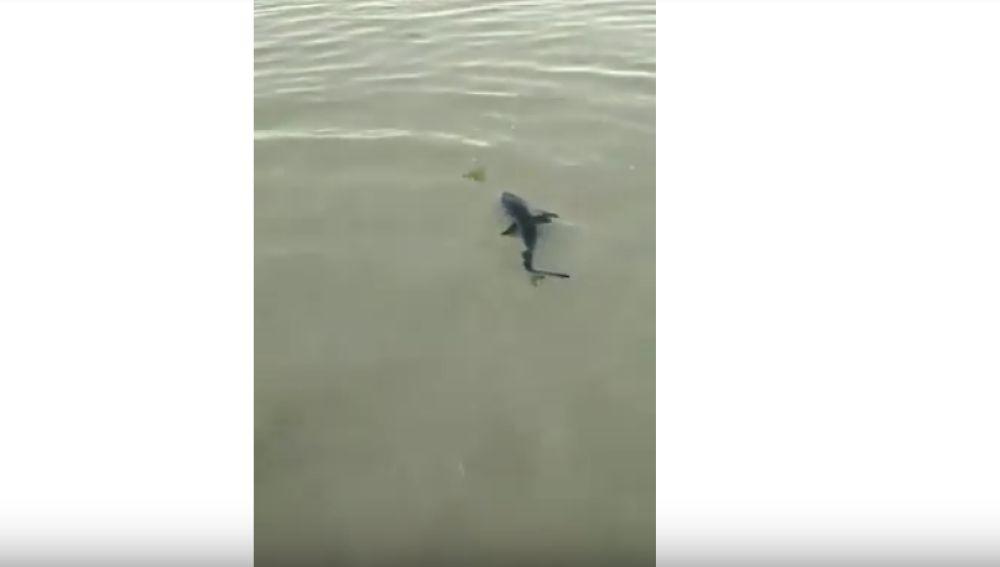 Cría de tiburón en Pontevedra