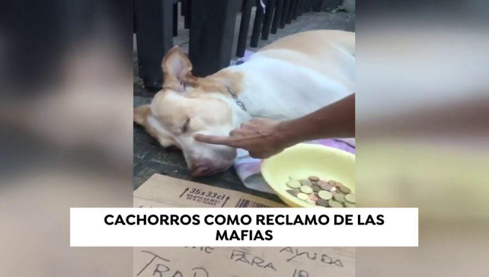 Cachorros drogados y desnutridos como reclamo de las mafias