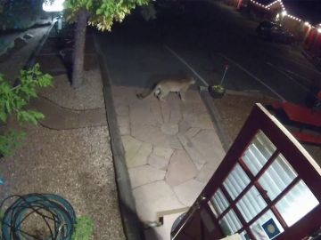 Un puma entra en la recepción de un motel en Estados Unidos