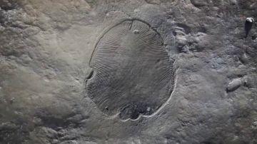 'Dickinsonia' es el animal más antiguo de la Tierra