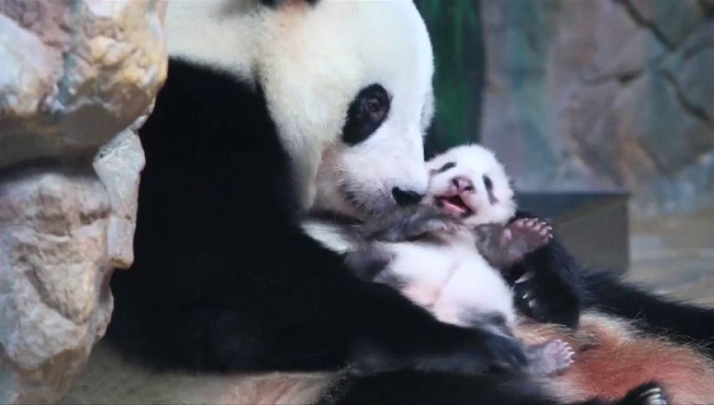 """""""Long Zai"""", la cría de panda gigante del sur de China encargada de perpetuar la especie"""