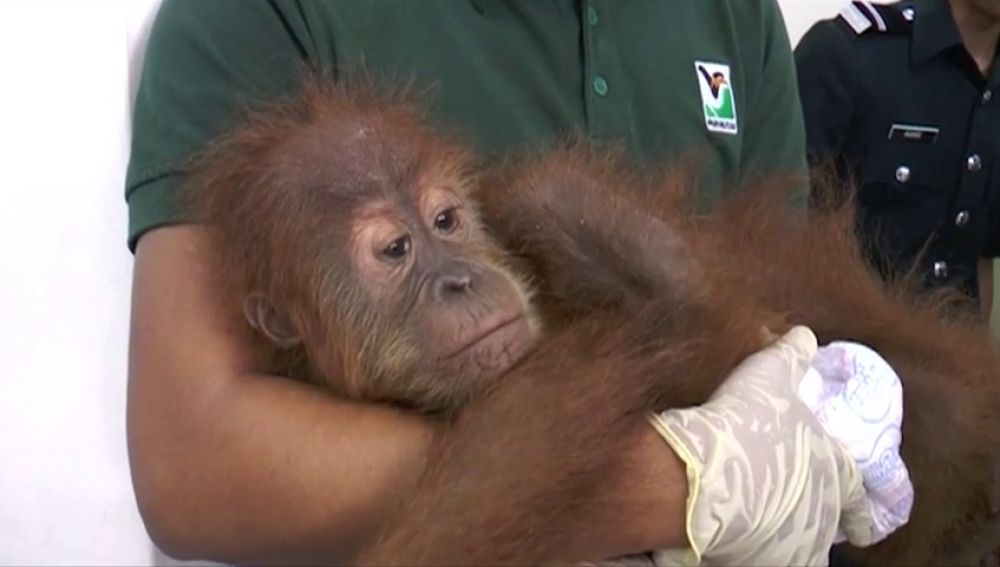 Dos bebés orangutanes, cocodrilos y varias especies de aves son rescatados del contrabando en Malasia