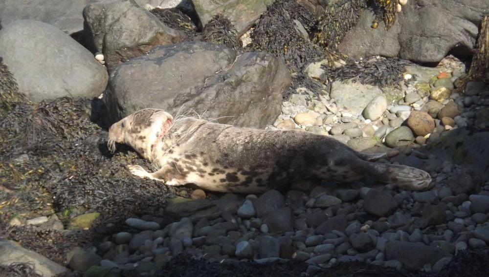 Una foca casi ahorcada por los plásticos