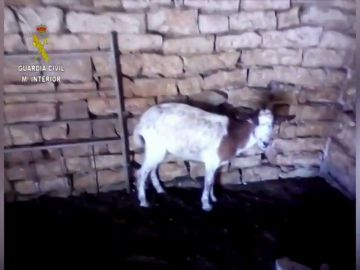 La Guardia Civil detiene a un ganadero por maltrato animal en FRAGA