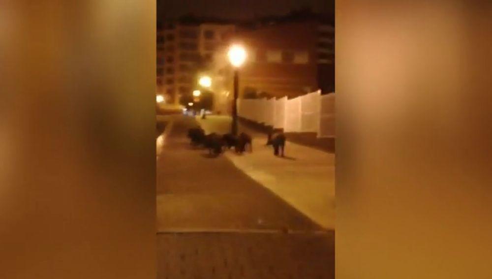 Los jabalíes campan a sus anchas en Oviedo