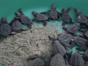 Decenas de tortugas llegan a desovar a México envueltas en basura