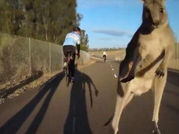 Momento del ataque de un canguro a un grupo de ciclistas