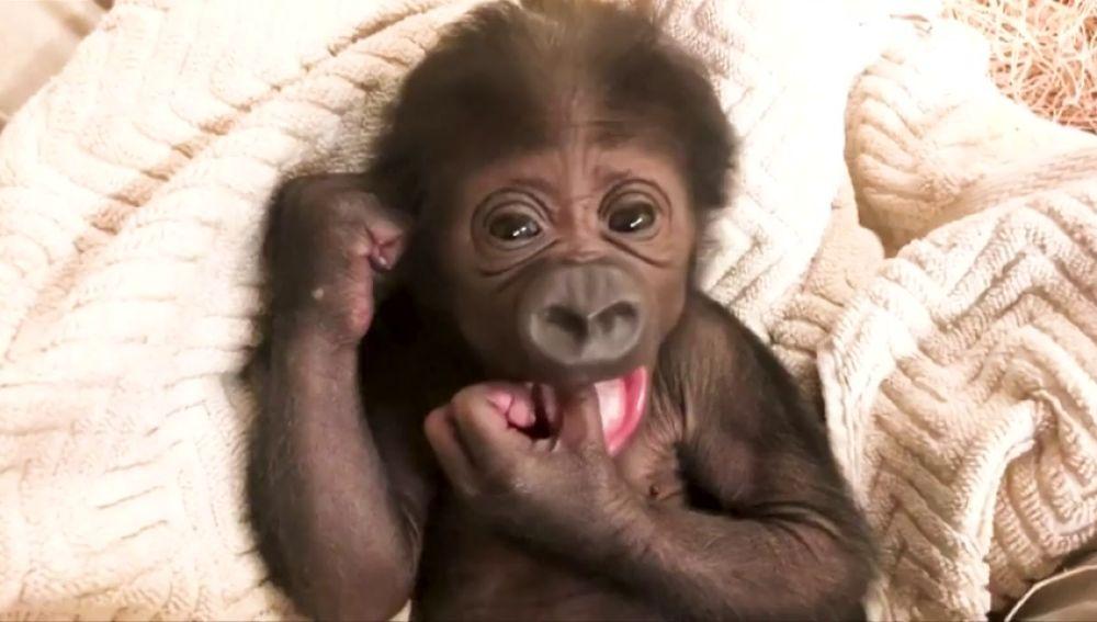 a6eff2f3e962 Un gorila en peligro de extinción nace en el zoológico de Jacksonville