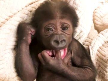 Un gorila en peligro de extinción nace en el zoológico de Jacksonville