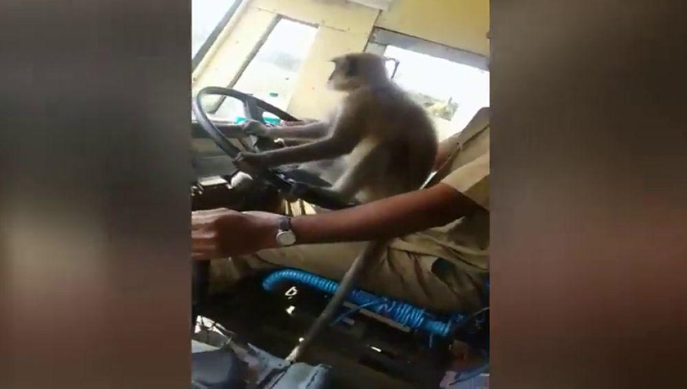 Graban a un mono 'conduciendo' un autobús en la India