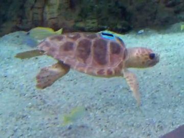 Loro Parque Fundación e Incabe inician el proyecto 'La vida secreta de las tortugas verdes'