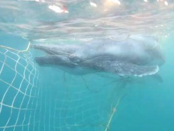Rescatan a una cría de ballena que quedó atrapada en una red contra tiburones en Australia