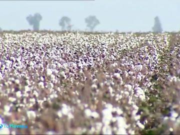 El algodón que se produce en nuestro país es de una calidad excepcional