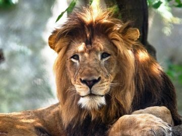 El león que ha fallecido