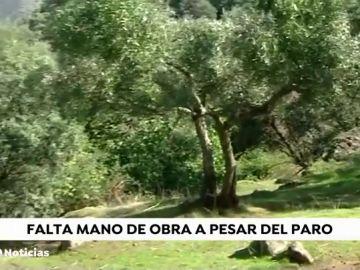 Escasez de temporeros en Córdoba al inicio de la temporada de recogida de la aceituna por los bajos salarios
