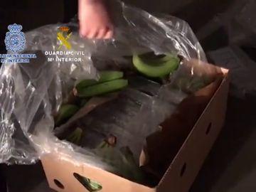 Intervienen más de cinco toneladas de cocaína ocultas en bananas en un polígono de Málaga