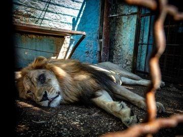 Uno de los leones rescatados