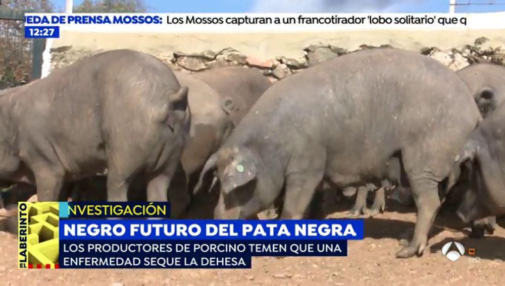 """El cerdo ibérico, en peligro de extinción: """"Si no tomamos medidias, las encinas desaparecerán en 15 años"""""""