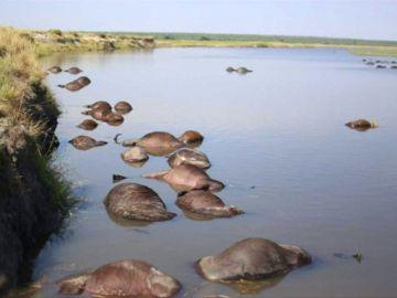 400 búfalos aparecen misteriosamente ahogados en el río Chobe