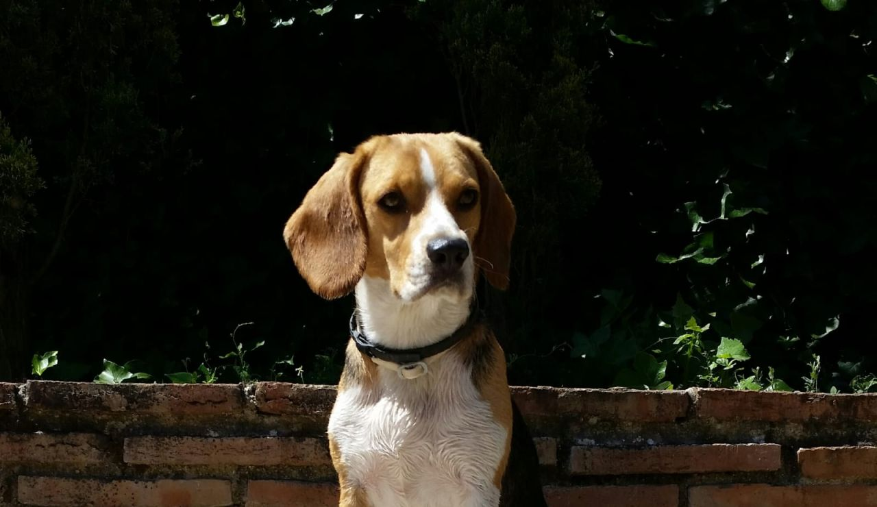 Un perro de la raza beagle