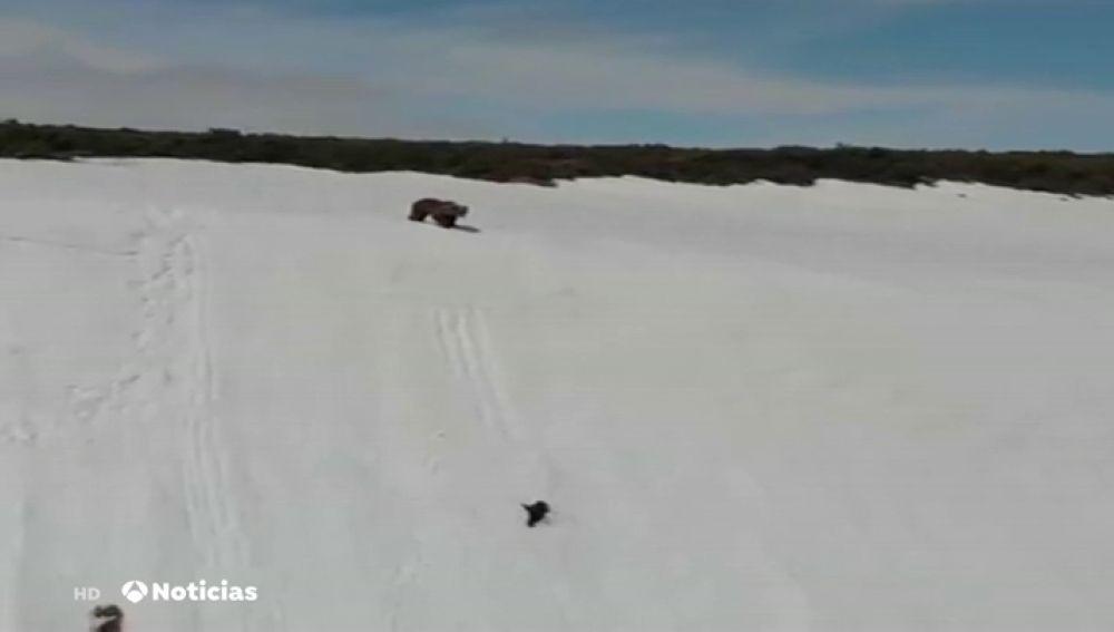 Osos en una escarpada montaña nevada