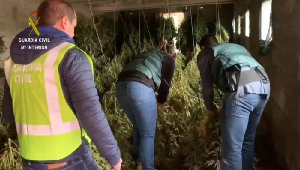 Cae una red criminal que poseía una parcela con 950 plantas de marihuana en Huesca