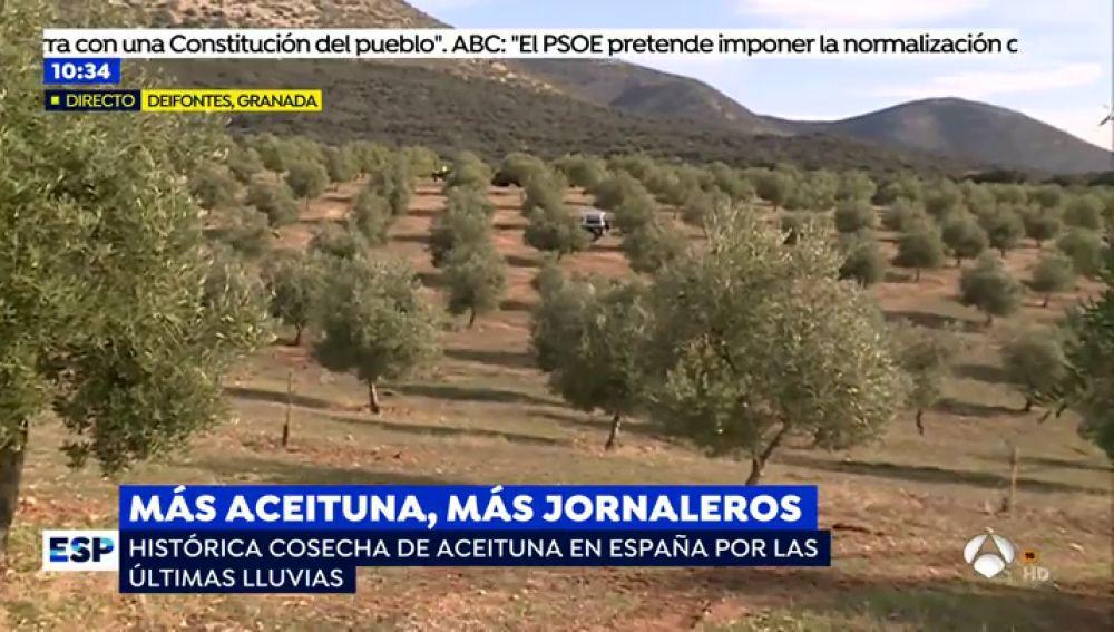 El año histórico de la cosecha de aceituna permite la contratación de jornaleros