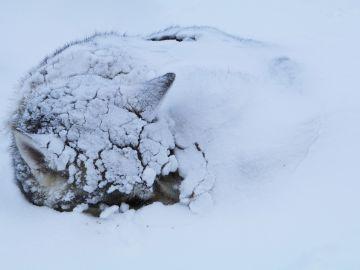 Perro enterrado en la nieve (Archivo)