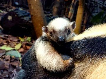 Un oso hormiguero cuida de su hermano pequeño en el zoo de Londres