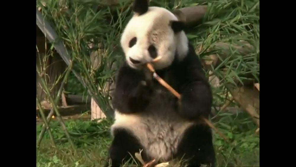 Un oso panda gigante de 28 años supera una operación de cáncer testicular