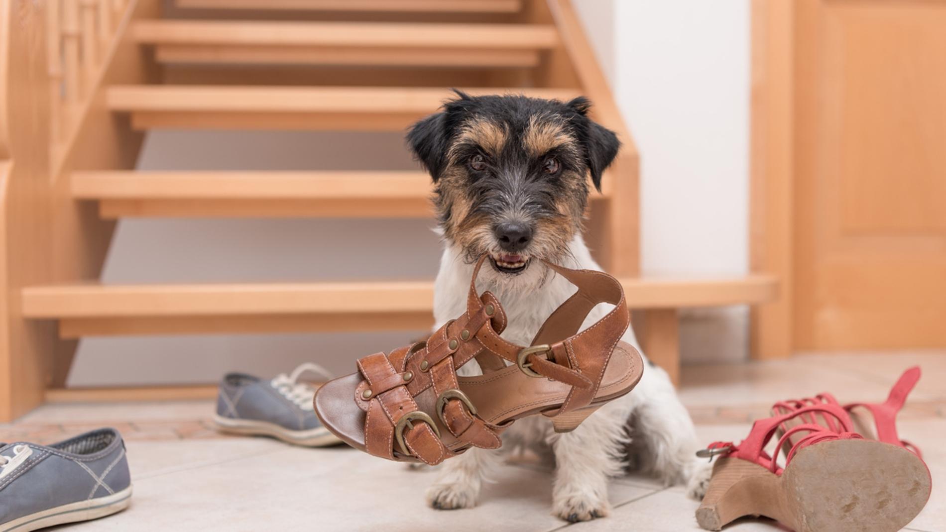 Un perro esconde sandalias por toda la casa