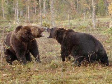 Pelea entre dos osos