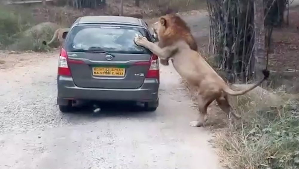 León atacando un coche de turistas