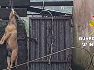 perro ahorcado