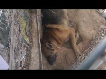 Denuncian la existencia de una 'casa de los horrores' en Murcia con perros agonizando y comiéndose a otros animales muertos