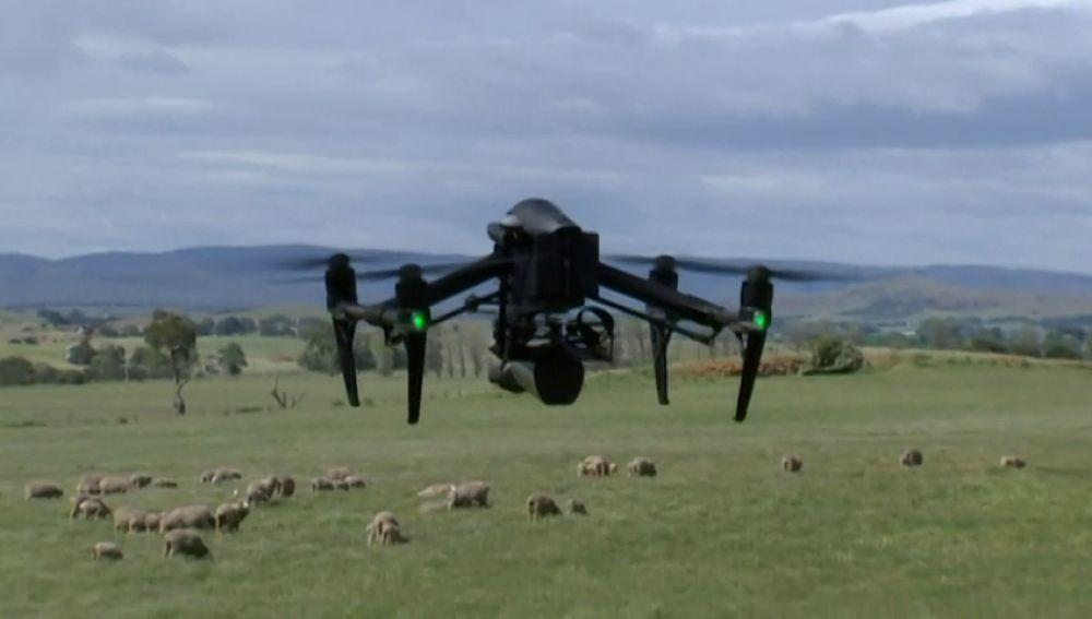 En Australia, los drones se encargan de controlar a los corderos en época de cría
