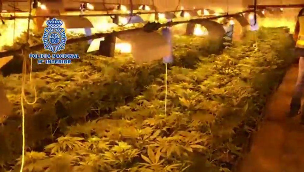 La Policía Nacional desmantela un cultivo de marihuana con más de un millar de plantas en Antequera