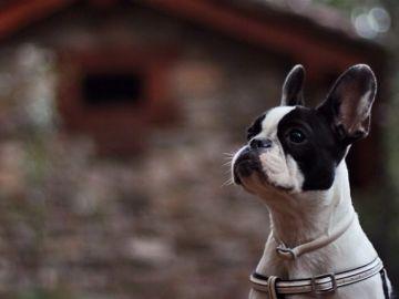 Un cachorro de Bulldog francés
