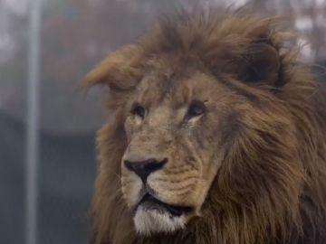 Imagen del león que atacó a uno de los trabajadores de un centro de conservación de animales salvajes de Carolina del Norte