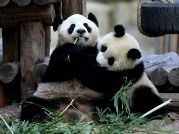Dos cachorros de oso panda comienza el destete con el inicio de Año Nuevo